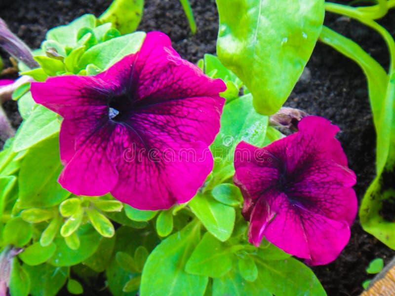 明亮的喇叭花花 紫红色的颜色 饱和的桃红色 库存照片