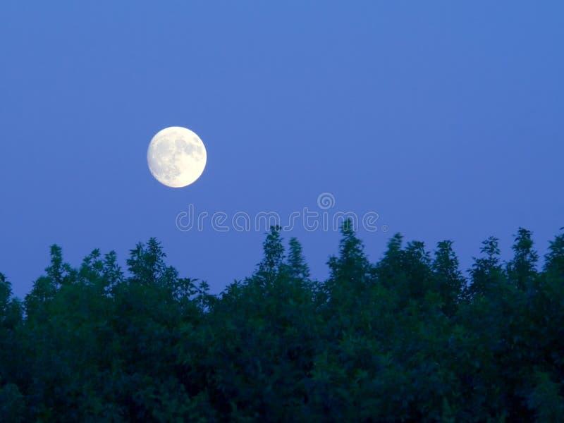 明亮的在结构树的黄昏满月 库存图片