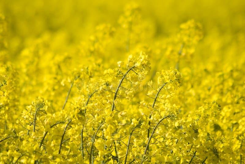 明亮的域花油菜籽黄色 免版税库存照片