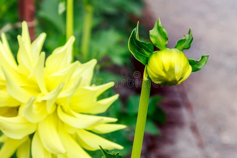 明亮的大丽花芽以与绿色庭院的黄色 免版税库存图片