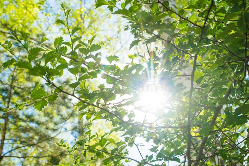 明亮的太阳亮光通过春天叶子 库存照片