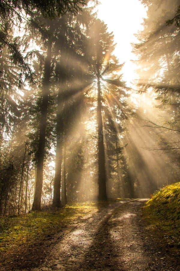 明亮的太阳通过杉树放光发光在绿色森林里 库存照片