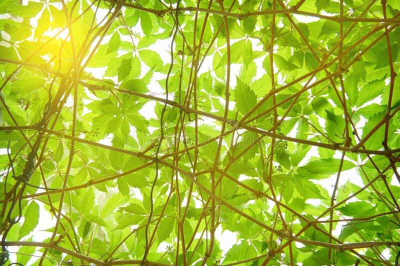 明亮的年轻绿色叶子 抽象背景 库存图片