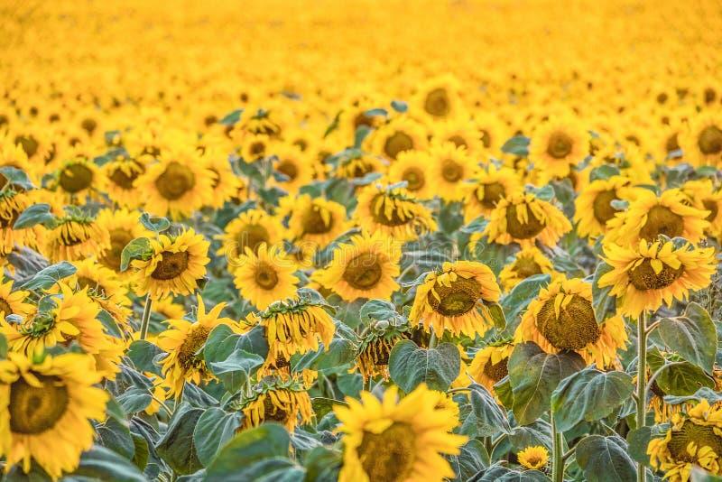明亮的开花的向日葵自然本底与选择聚焦的 免版税库存照片