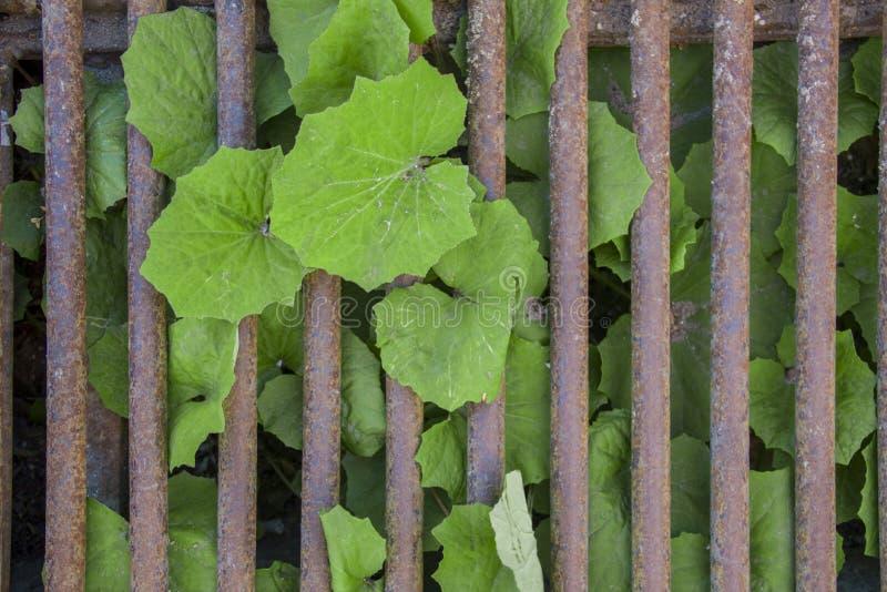 明亮的新鲜的绿色叶子通过一个生锈的棕色栅格增长 E 免版税库存照片
