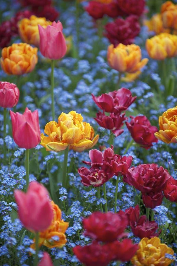 明亮的春天开花五颜六色的桃红色橙色洋红色郁金香装饰庭院 免版税图库摄影
