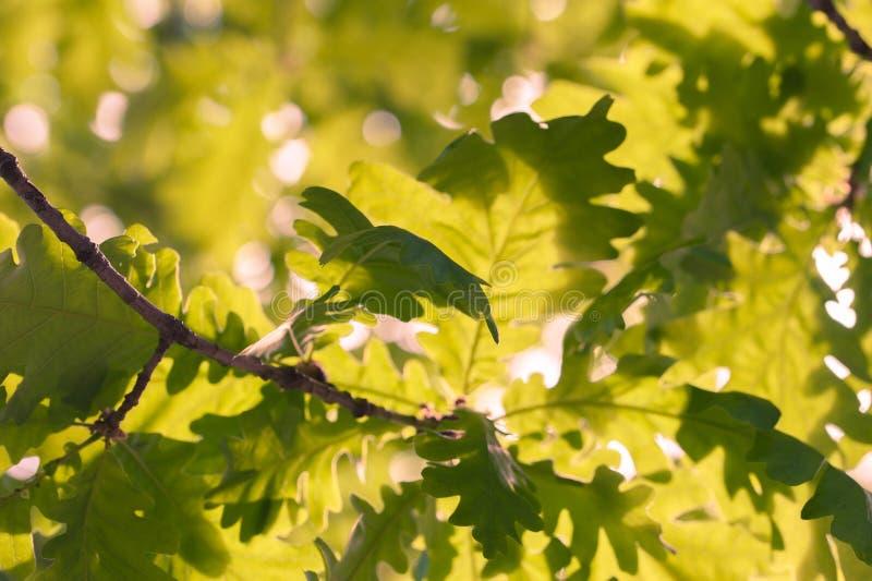 明亮的春天橡木叶子由日落光点燃了 选择聚焦 免版税图库摄影