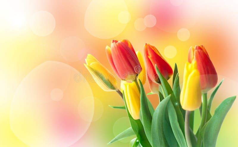 明亮的春天郁金香卡片 背景上色节假日红色黄色 免版税图库摄影