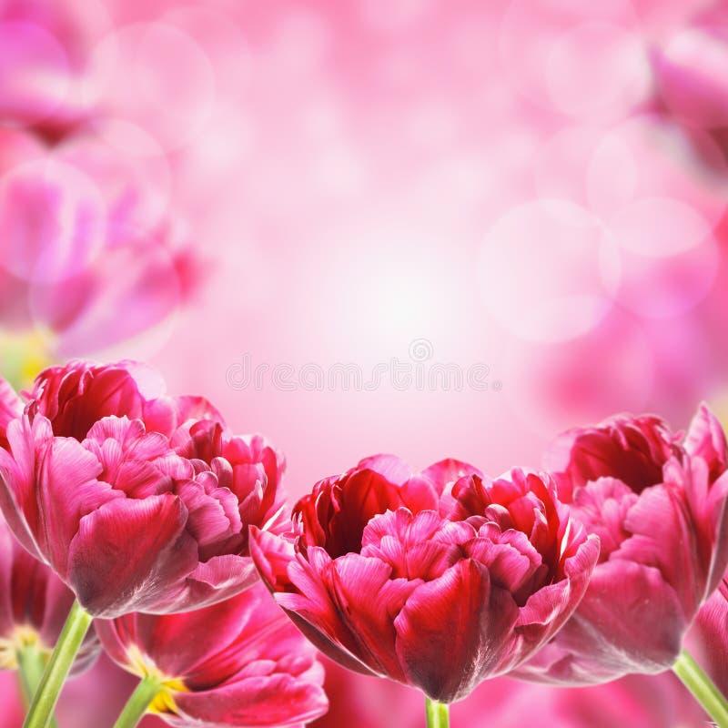 明亮的春天郁金香花,花卉背景 免版税库存图片