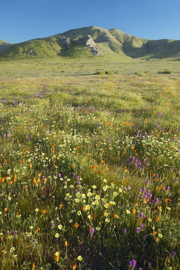 明亮的春天黄色在卡里索国家历史文物,美国Departmen的山附近开花,沙漠金子和花菱草 免版税库存照片
