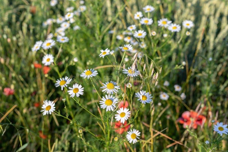 明亮的春黄菊在夏天庭院关闭开花  免版税库存照片