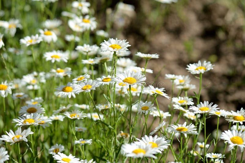 明亮的春黄菊在夏天庭院里开花 免版税图库摄影