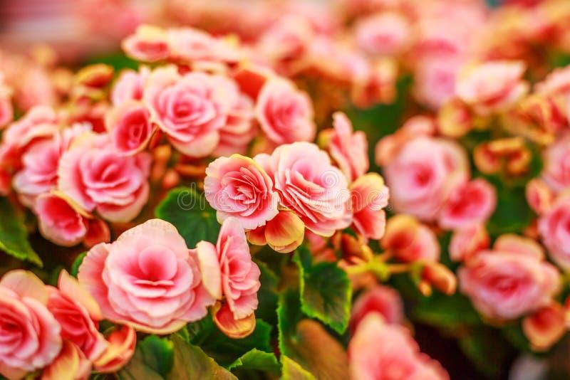 明亮的桃红色和橙色花,春日 免版税库存图片