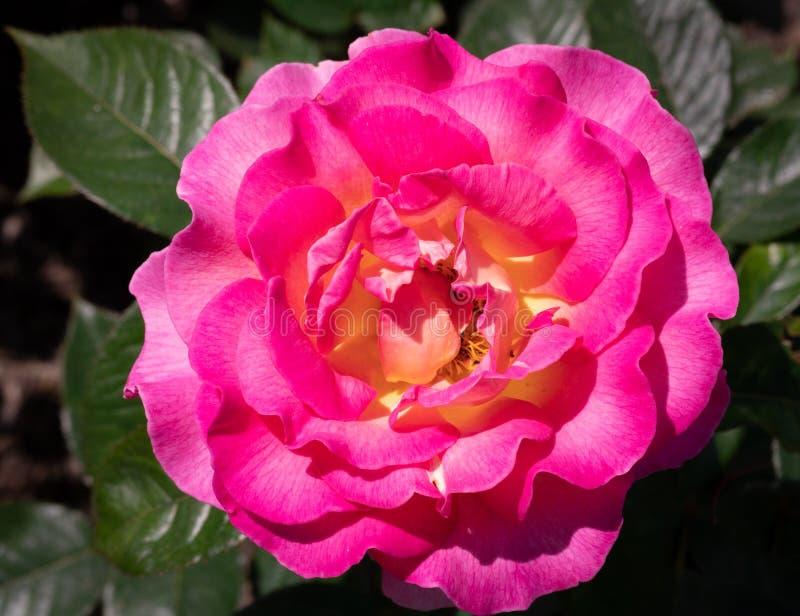 明亮的桃红色和黄色茱莉・安德丝杂种茶特写镜头在选择聚焦户外上升了在庭院里 免版税库存图片