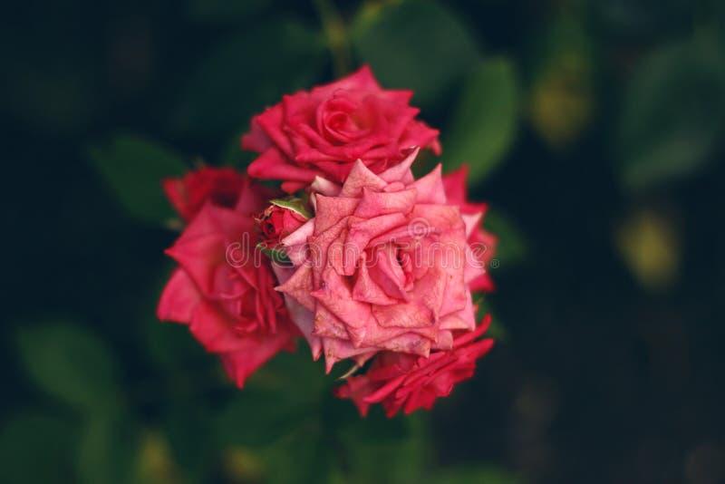 明亮的桃红色玫瑰在庭院里 库存照片