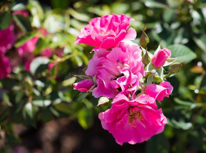 明亮的桃红色玫瑰群 免版税图库摄影