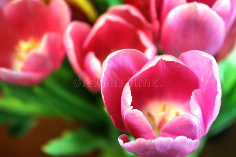 明亮的桃红色郁金香开花 免版税库存图片
