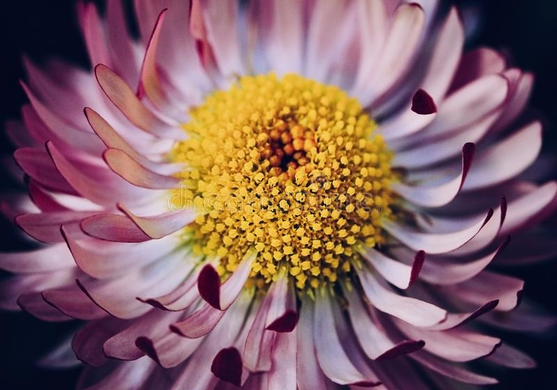 明亮的桃红色雏菊花关闭在黑背景 与白色桃红色瓣的延命菊和与a的黄色中部 免版税库存图片