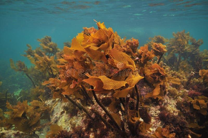 明亮的棕色海带在海洋表面下 免版税库存照片