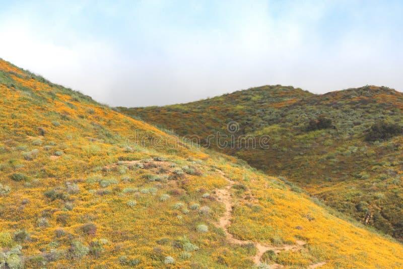 明亮的橙色充满活力的生动的金黄花菱草,在绽放,有薄雾的早晨山坡的季节性春天本地植物野花 免版税库存图片