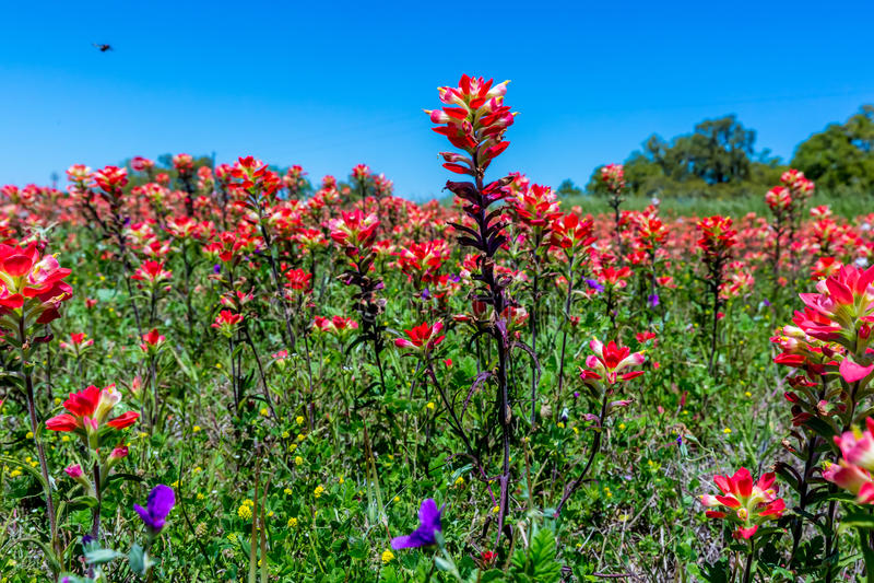 明亮的橙色印度画笔野花在得克萨斯 库存图片