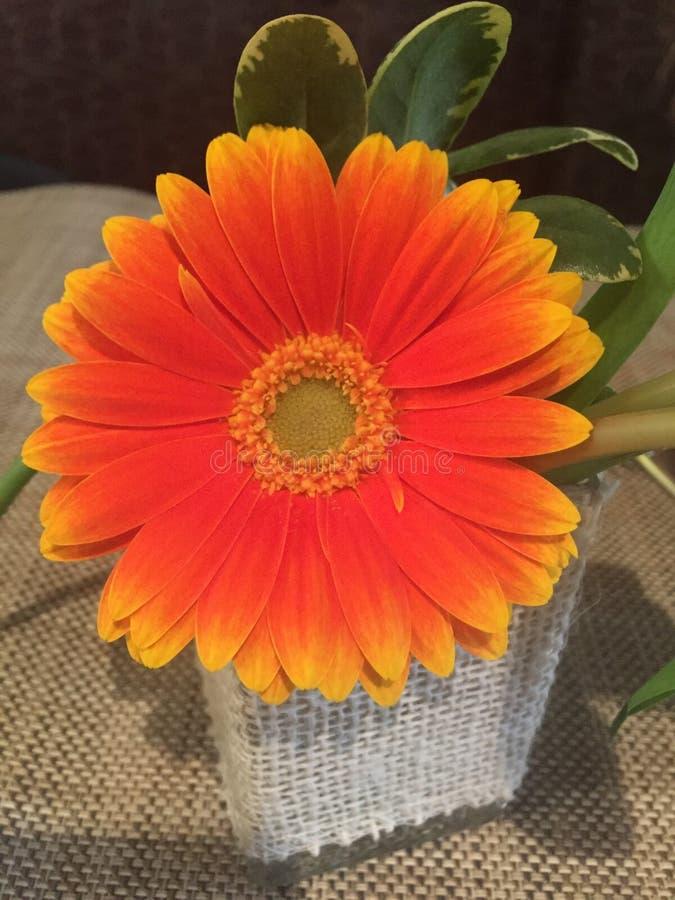 明亮的橙色和黄色格伯雏菊花 图库摄影