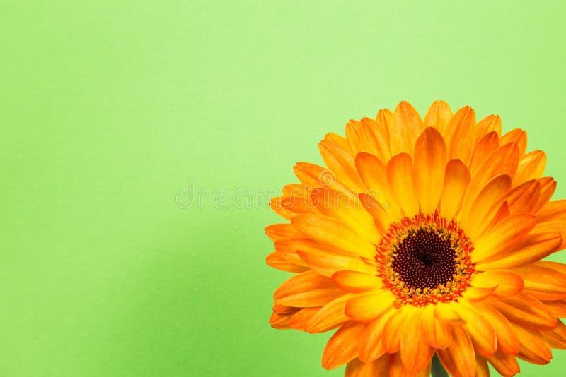 明亮的橙色大丁草在精美绿色背景开花 免版税库存图片
