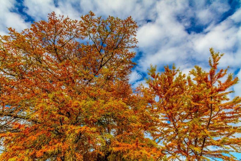 发光在秋天太阳的明亮的橙色Cypress叶子 库存图片