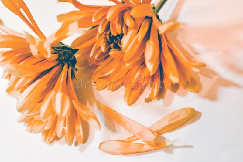 明亮的橙色菊花 免版税图库摄影