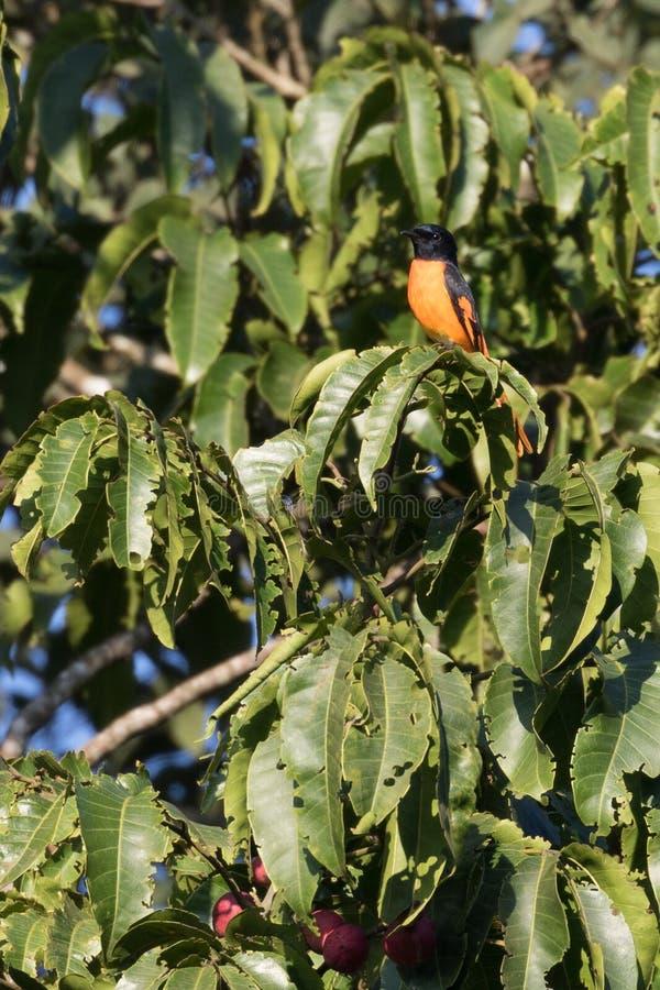 明亮的橙色鸟 免版税图库摄影