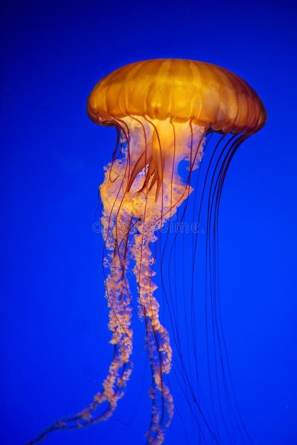 明亮的橙色水母在深蓝色海洋 免版税库存图片