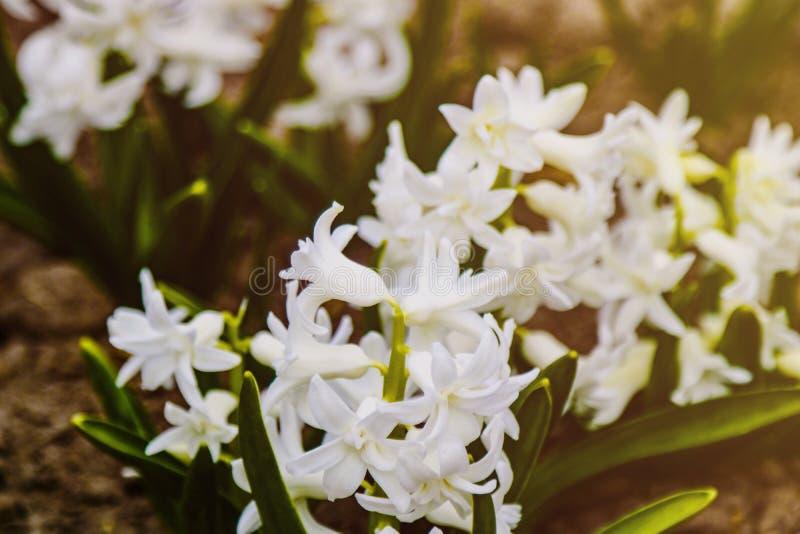 明亮的白色风信花花在庭院里在春天,软的焦点 库存照片