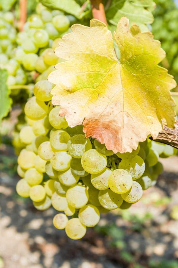 明亮的白葡萄、莓果和五颜六色的叶子在葡萄树,特写镜头 库存照片