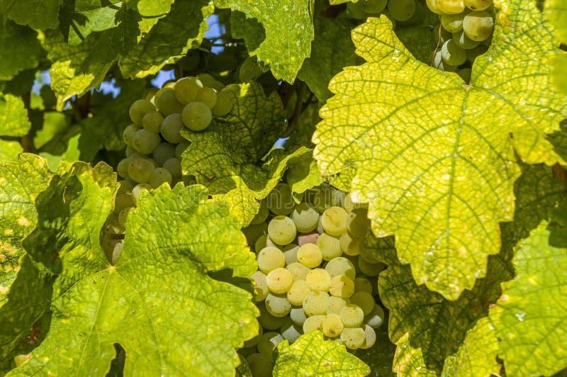 明亮的白葡萄、莓果和五颜六色的叶子在葡萄树,特写镜头 免版税图库摄影