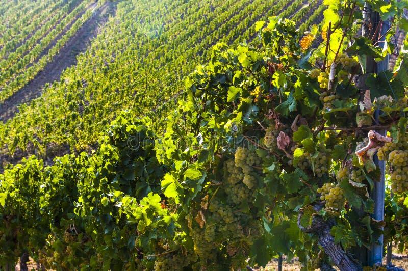 明亮的白葡萄、莓果和叶子在葡萄树在背景中葡萄园有发光在阳光下的叶子的 免版税库存照片