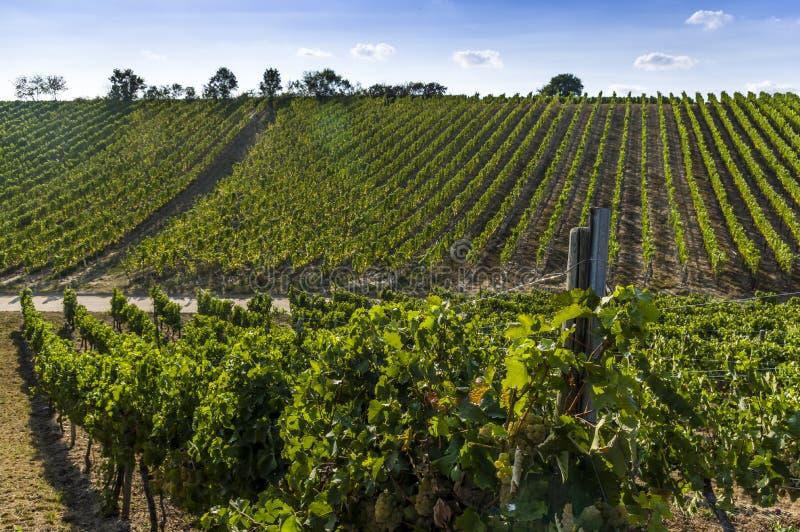 明亮的白葡萄、莓果和叶子在葡萄树在葡萄园的背景中 免版税库存图片