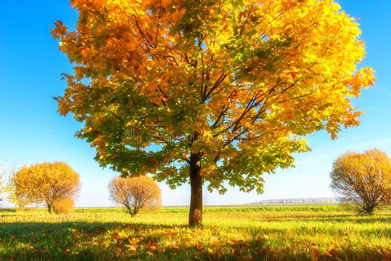 明亮的秋天自然风景 美丽的五颜六色的树在晴朗的10月天 ?? 在象草的草甸的金黄树 库存图片