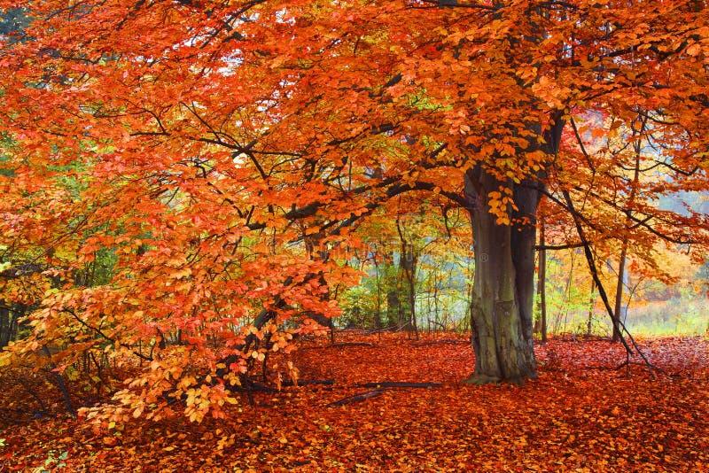 明亮的秋天颜色,树在森林 免版税库存图片