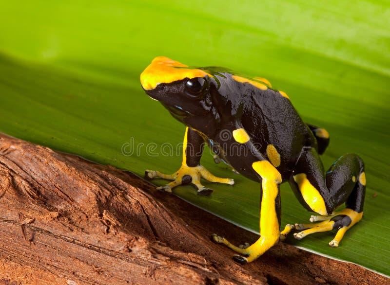 明亮的箭青蛙绿色叶子桔子毒物 库存图片