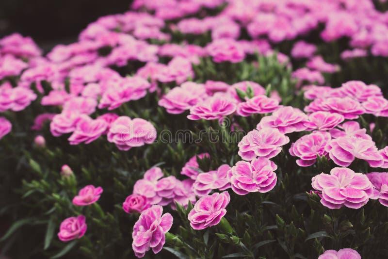 明亮的紫色康乃馨花退了色 美丽的小康乃馨过滤了 开花的花在庭院里 图库摄影