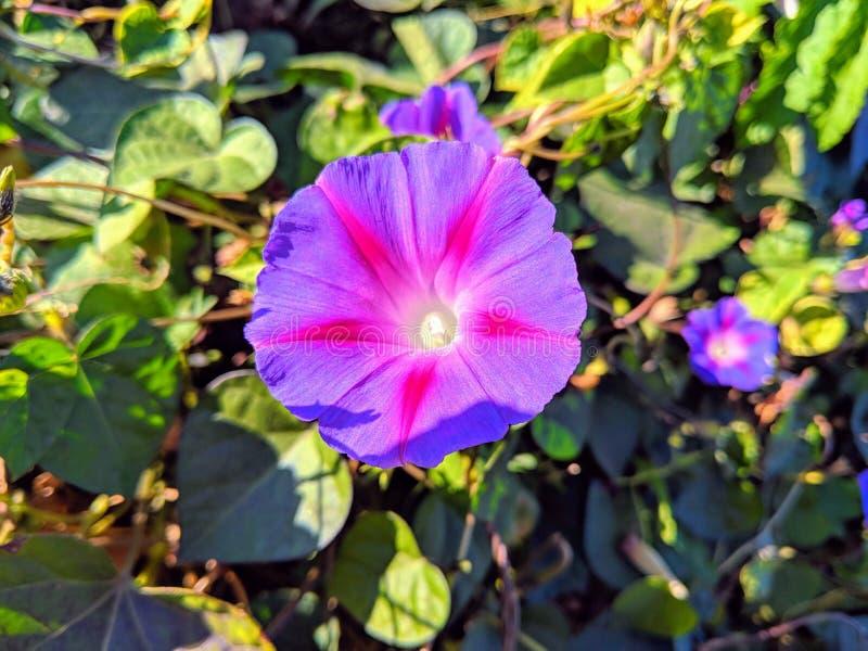 明亮的紫色的海滩moonflower的特写镜头与粉色的在被弄脏的背景的温暖的口气 免版税库存图片