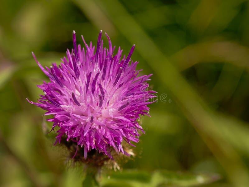 明亮的紫色蓟花,从上面关闭,有绿色迷离背景 库存图片