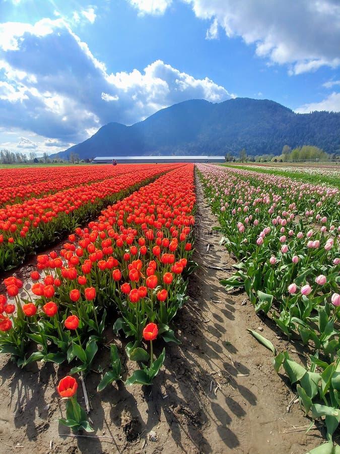 明亮的红色和桃红色郁金香的领域在绽放的在有蓝色山的春天在背景中 免版税库存照片