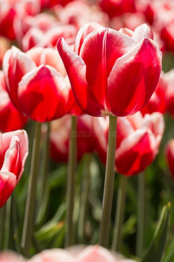 明亮的红色和白色郁金香荷兰密执安垂直 图库摄影