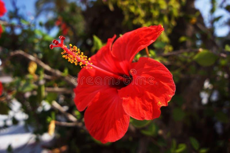 明亮的红色开花的木槿在一个热的夏日 库存照片