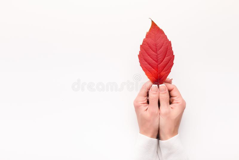 明亮的红色落叶在白色背景的妇女手上 库存照片