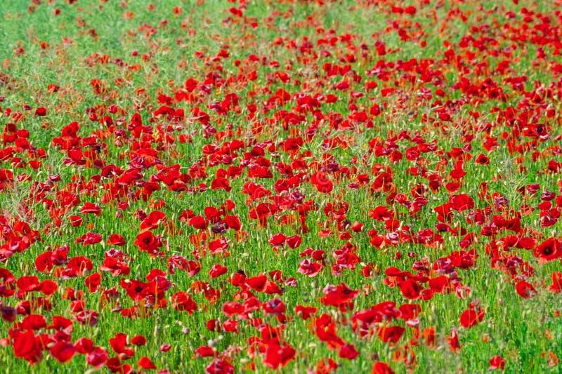 明亮的红色虞美人的领域在夏天开花 免版税库存照片