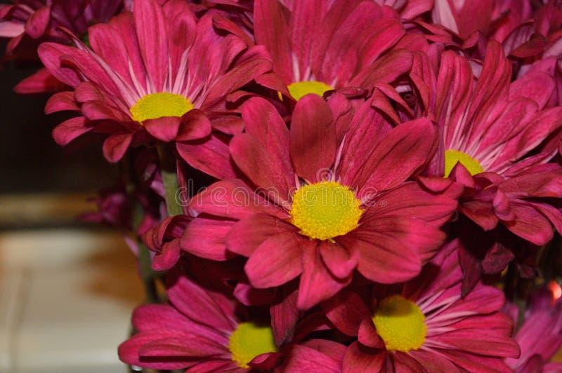 明亮的红色雏菊 免版税图库摄影