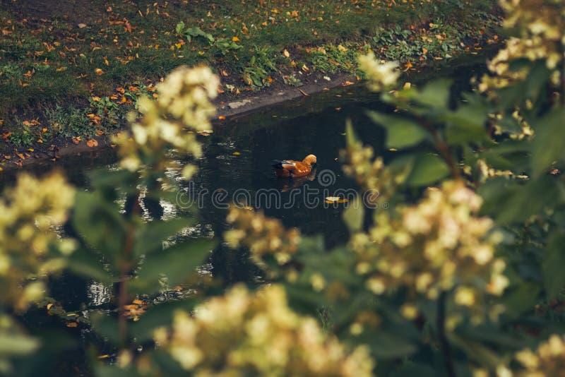 明亮的红色鸭子温文地飞溅在水池水中的Ogar 库存图片