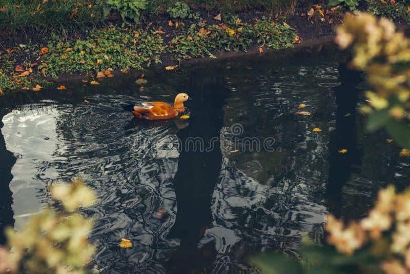 明亮的红色鸭子温文地飞溅在水池水中的Ogar 免版税库存照片